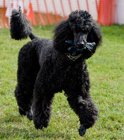 Standard poodle Obi returns with the glove in Obedience
